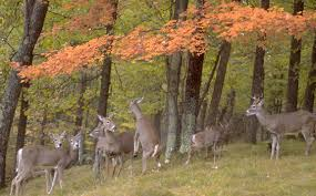 white tailed deer the naturalist