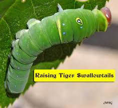 adventures in raising the eastern tiger swallowtail butterfly