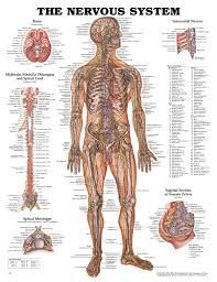 Anatomy And Physiology Nervous System Study Guide Human Body Archives Page 28 Of 60 Human Anatomy Chart