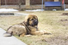 australian shepherd mastiff mix tibetan mastiff dog breed information pictures characteristics