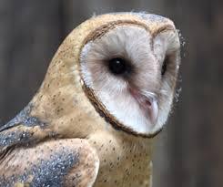 North American Barn Owl New Barn Owl Athena Schlitz Audubon Nature Center