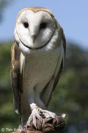 Scientific Name Of Barn Owl California Naturemapping Barn Owl Fact Sheet