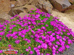 Rock Garden Cground Stepables Plants That Tolerate Foot Traffic