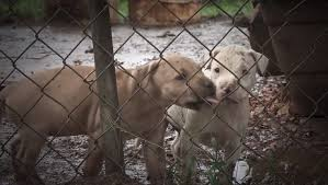 belgian shepherd vs pitbull fight 23 pit bulls saved from north carolina dog fighting operation
