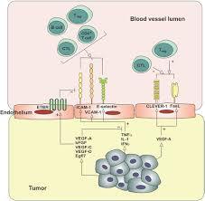frontiers the role of the tumor vasculature in the host immune