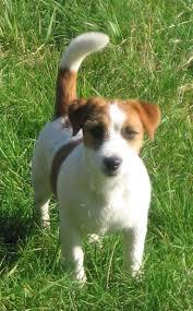 australian shepherd jack russell terrier 16 best jack russell terrier images on pinterest jack russell