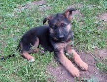 belgian shepherd kijiji winnipeg german shepherd dogs puppies for sale classifieds at