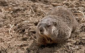 february nature notes nature groundhogs valentines