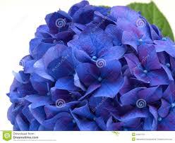 Hydrangea Flowers Sweet Purple Blue Hydrangea Flowers On A White Background Sel