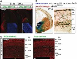 What Is Interneuron Age Matched E12 5 Mge And Cge Derived Interneurons Are