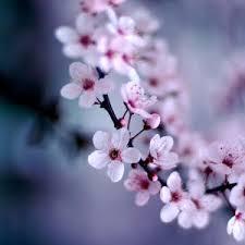 cherry blossom wallpaper my blog
