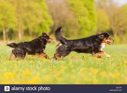 australian shepherd yellow two australian shepherd dogs running stock photos u0026 two australian
