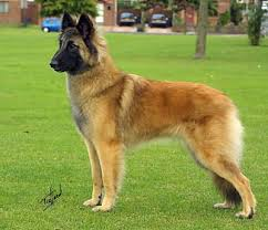 belgian sheepdog registry 127 best dogs images on pinterest animals dogs and big dogs