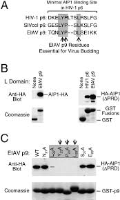 aip1 alix is a binding partner for hiv 1 p6 and eiav p9