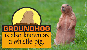 what do groundhogs eat not what you thought