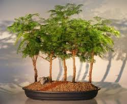 23 best bonzai trees you can buy on images on