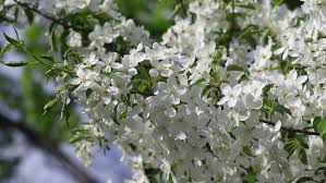 Tree With Little White Flowers - blossom cherry branches with white flower and green little leaf