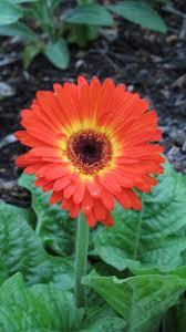 388 best gerbera daisies my fav images on pinterest nature