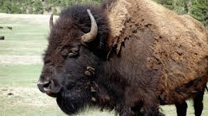 the battle between buffalo and wolves national geographic