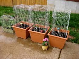 Vegetable Pot Garden by Vegetable Container Garden With Cages Cages Made Out Of Ch U2026 Flickr