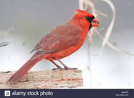 male cardinal eating sunflower seed stock photo royalty free