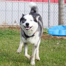 affenpinscher illinois sycamore il siberian husky meet daredevil a dog for adoption