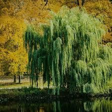 the willow tree aj writing prompt aj amino amino