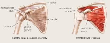 Human Shoulder Diagram Shoulder Basics