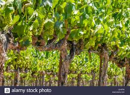 grapevine trellis stock photos u0026 grapevine trellis stock images