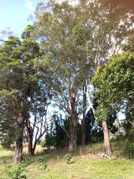 how to look after big trees protecting our paddock trees