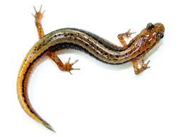 Northern Michigan Wikipedia by Northern Two Lined Salamander Wikipedia