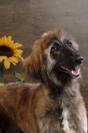 afghan hound ireland afghan hound puzzle android apps on google play