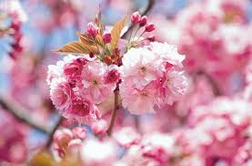 prunus kanzan japanese flowering cherry