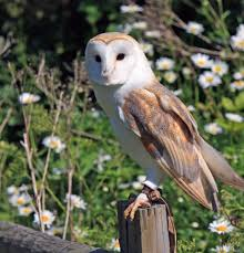 barn owl free stock photo public domain pictures