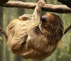 4 toed sloth two toed sloth