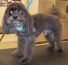 yorkie poo haircut groomed yorkie poo pictures and information hirunaka no ryuusei