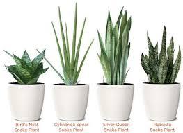 indoor plants india 20 easy to grow indoor plants in india plantdecors com