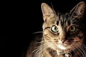 pros and cons of the new fiv vaccine for cats how to prevent feline immunodeficiency virus and manage infected cats