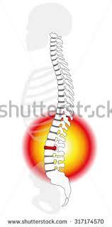 Human Vertebral Column Anatomy Spinal Column Stock Images Royalty Free Images U0026 Vectors