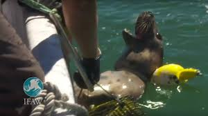 ifaw frees seal caught in fishing gear on cape cod youtube