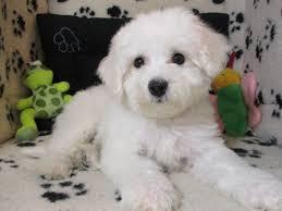 bichon frise kennels bichon frise 4570 puppies for sale at breeders club