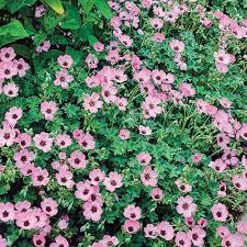 25 trending hardy geranium ideas on pinterest geranium flower