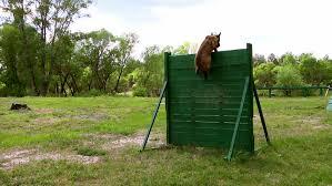 training a belgian sheepdog belgian shepherd dog jumps into the window of a house training