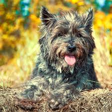 brindle cairn haircut cairn terrier dog breed information pictures characteristics