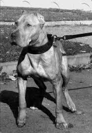 american pitbull terrier jaw crenshaw u0027s chernov u0027s red jaw rom online pedigrees apbt