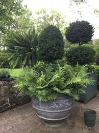 Rosemary Topiary A Plant Collection Dirt Simple