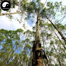 2017 buy real eucalyptus robusta smith tree seeds plant eucalyptus