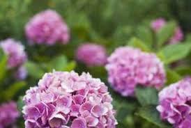 hydrangeas flowers pruning vs deadheading for hydrangeas home guides sf gate