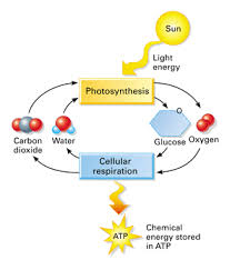 Photosynthesis And Cellular Respiration Worksheet Photosynthesis Cellular Respiration Tn