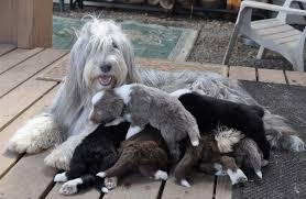 bearded collie brown colors and coats bearded collie club of america